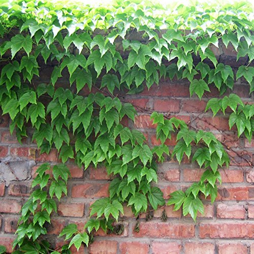 20PCS / Sac Boston Ivy semences Virginia Creeper Seed Parthenocissus tricuspidata Seed pollution acoustique