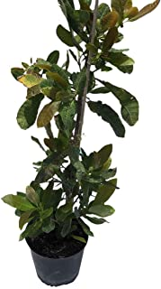 Best dwarf cashew tree Reviews