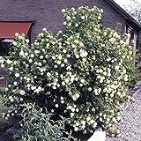 Dominik Blumen und Pflanzen, Gefüllter Schneeball, Viburnum opulus 'Roseum' weiß blühend, 1 Strauch, 30 - 40 cm hoch, 3 Liter Container, plus 1 Paar Handschuhe gratis