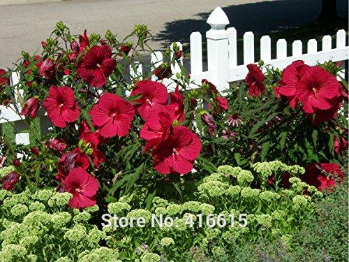 Rose Mallow Graines Hibiscus Jazzberry Jam Seeds Flower Garden Usine Semillas Bonsai