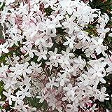 Graines de jasminum grandiflorum, 20 graines de jasminum grandiflorum ornementales de fleurs de jardin, balcon, bonsaï Graines de jasmin grandiflorum.