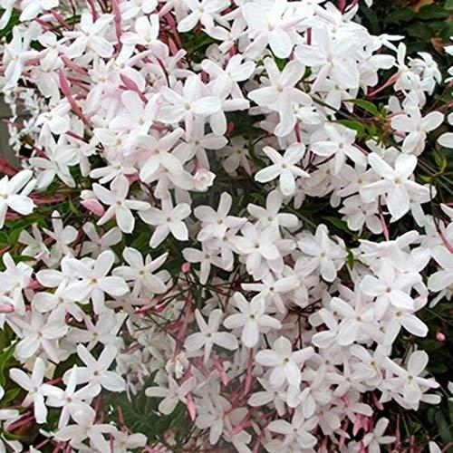XQxiqi689sy 20Pcs Semillas De Jazmín Flor Ornamental Balcón Jardín Bonsai Decoración Semillas de Jasminum Grandiflorum
