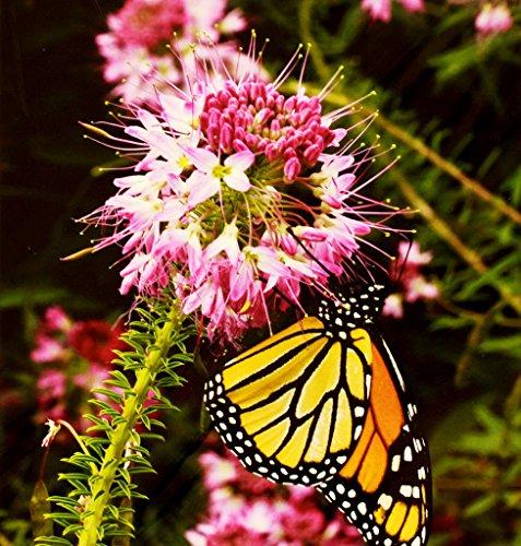 Rocky Mountain Bee Pflanze, Rare Cleome, Rosa Blume, 200 Samen! Groco