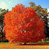 25 Piezas De Semillas De Arce Fáciles De Plantar Como árboles Ornamentales En Ambos Lados De La Carretera Se Vuelven Rojas Ardientes En Otoño En Forma De Belleza única
