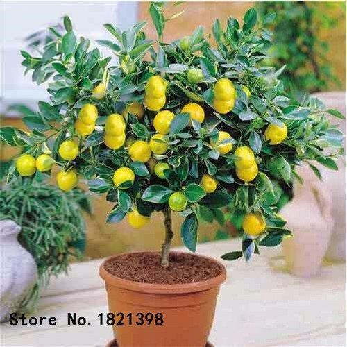 50 pcs/sac graines de citronnier avec emballage hermétique * graines de fruits Heirloom disponibles en plein air à l'intérieur de * graines de citron Livraison gratuite 1