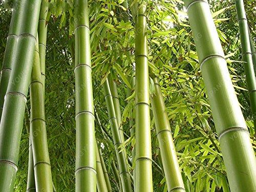 50pcs/sac Moso graines bambou Phyllostachys heterocycla Pubescens-géant bambou Moso Graines pour le bricolage jardin plante