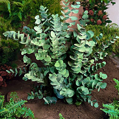 Eucalyptus gunnii   Mostgummi-Eukalyptus...