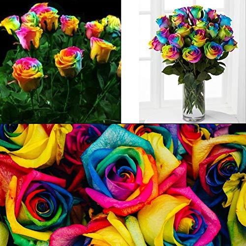 QHYDZ Seeds-50pcs Semillas Flores de Arcoiris Perfume Rosa Rose Flower Seeds, Perennes...
