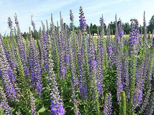 Langblättriger Ehrenpreis Veronica longifolia 200 Samen
