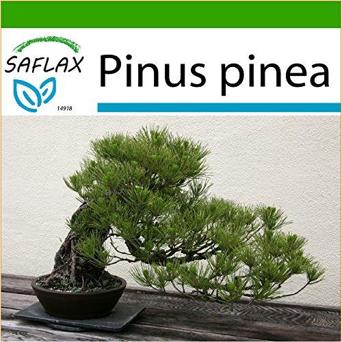 SAFLAX - Bonsai - Mittelmeer-Pinie - 6 Samen - Mit keimfreiem Anzuchtsubstrat - Pinus pinea