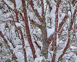 Media Storehouse 10x8 Print of USA, Washington State, Seabeck. Snow-Covered Coral bark Japanese Maple Tree (19319978)