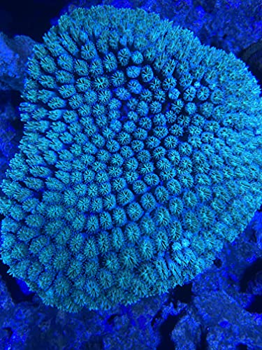 Live Saltwater Coral Frag - Green Short Tentacle Galaxea