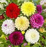 DAHLIE - Dahlia Dekorative Mischung, Pack: 12 Knollen/Zwiebeln (Größe XL), BULBi Blumenzwiebeln Spezialist, Top Qualität, Kreieren Sie einen Meer von Dahlienblumen, farbenprächtige Schnittblumen.