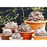 【多肉植物/種子】Dioscorea Elephantipesディオスコレア◎ハート型の葉が可愛い塊根植物◆種子5粒 [並行輸入品]