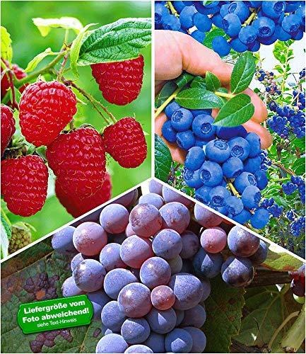 BALDUR-Garten Beeren-Sortiment Traube, Heidelbeere, Himbeere, 3 Pflanzen