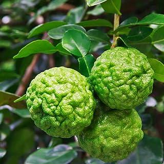 「コブミカン(タイ料理には欠かせない)」【果樹苗 9cmポット/2個セット/挿し木苗または実生苗/出荷タイミングにより挿し木苗か実生苗になります。ご指定はできません】ポット苗なので年中植付け可能!!コブミカンの葉は東南アジア料理には欠かせないハ...