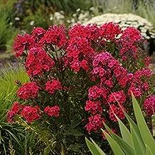 Phlox 'RED Riding Hood' - Garden Phlox - Starter Plant - Cut Back - DORMANT