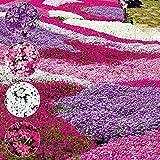 Phlox Paniculata Samen, KimcHisxXv 100 St¨¹cke Mischfarbe Phlox Paniculata Samen Kolibri Blume Garten Hof Decor - Phlox Paniculata Samen
