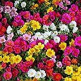 Semi misti di Moss Rose - Portulaca grandiflora