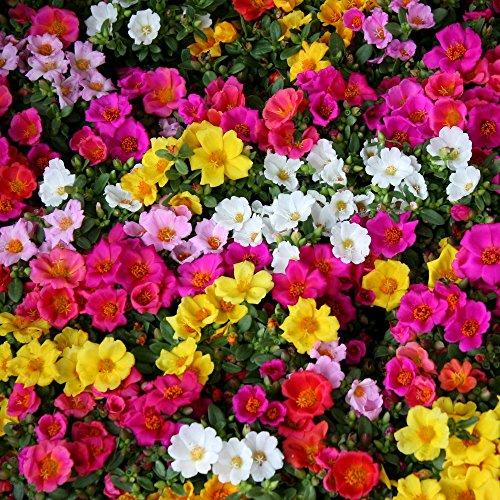 Moss Rose gemischt Samen - Portulakröschen