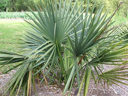 Sabal Minor Nain Palmetto Hardy extrêmement froid! - 10 graines