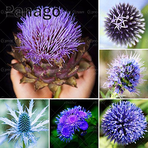 Elitely 30 Stcke Echium Vulgare Blaue Sau Distel Echium Spp Blaue Distel Blume Bonsai Tree Seeds Indoor Samen Fr Hausgarten