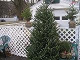 100 abeto Fraser SEED Navidad árbol de hoja perenne árboles de crecimiento rápido