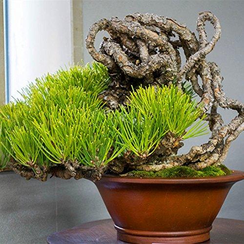 20 pcs/sac Graines de pin noir vert graines bonsaï plantes Pinus thunbergii Parl pour les plantes ligneuses vivaces droites de jardin à domicile 2