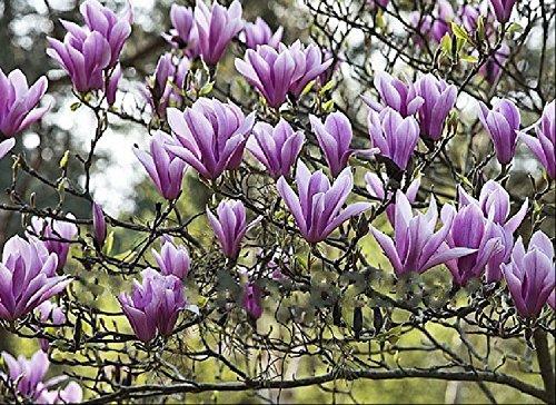 Pas chers Plantes Bonsai Qing parfum Belle graines magnolia Yulan Flower Seed 10 graines / paquet