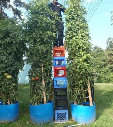 Tomatenbaum/Tomatenbaum, groß, hohe Ergiebigkeit, 7 Stück