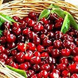 TOYHEART Semillas De Frutas De Primera Calidad, 1 Bolsa De Semillas De Cereza Mini Semillas De Jardín Frescas De Color Marrón Claro Para Jardín Semillas de cereza