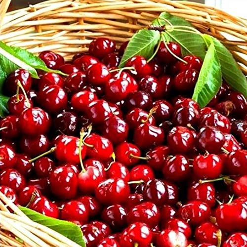 Red Cherry Seeds 20pcs Sweet Delicious Cerasus Premium Oganic Fresh Fruit Seeds for Planting Garden Yard Outdoor - 20 Seeds Garden Yard Plant Seeds Cherry Seeds