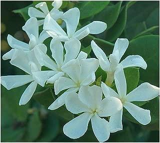 Carissa macrocarpa - natal plum - 10 seeds