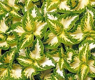 200 Coleus Seeds Wizard Jade BULK SEEDS
