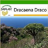 SAFLAX - Drago de Canarias - 5 semillas - Con sustrato - Dracaena Draco