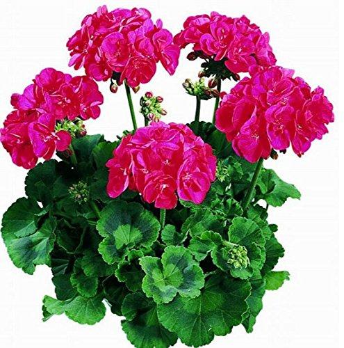 Deux couleurs Rouge Blanc univalve Géranium Graines Graines de fleurs vivaces Pelargonium peltatum Semences pour 100 graines Pièces d'intérieur/Sac 12
