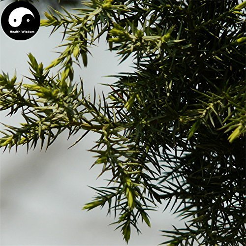 vegherb Kaufen Formosa-Wacholder Baumsamen 60Pcs Pflanze Lebensbaum Chinese Ci Bai SHU