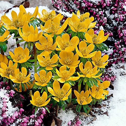 25x Eranthis cilicica | 25er Set Winterlinge Zwiebeln | Gelbe Blüte | Blumenzwiebeln Frühblüher | Ø 4-5cm