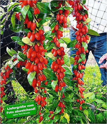 BALDUR-Garten Winterhart Goji Sweet Lifeberry®, 1 Pflanze Gojibeeren-Pflanze