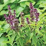 Persian Basil Seeds (Ocimum basilicum) 30+ Rare Medicinal Herb Seeds