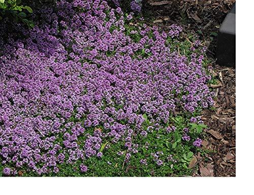 Premier Seeds Direct DI-OGS8-4INB 0.5g lila Creeping ThymianSamen (Packung mit 3500)