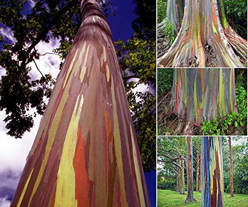 PlenTree Eucalipto del Arco Iris (Eucalyptus deglupta) 10 Semillas