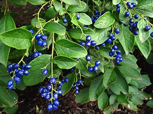 Saphirbeere Symplocos paniculata Pflanze 5-10cm Asiatisches Süßblatt Rarität