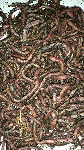 Cheap Bestbait.com European Nightcrawlers Composting Worms Fishing Worms 1 lb. Pack