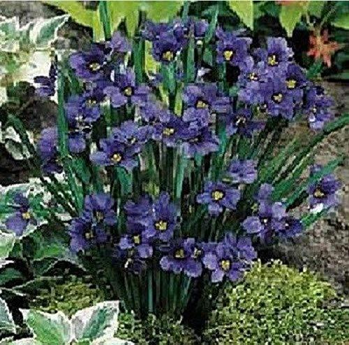 GETSO 30 + Semi/Pacchetto Viola con Gli Occhi Azzurri Semi di Erba Sisyrinchium Fiore/Sedge