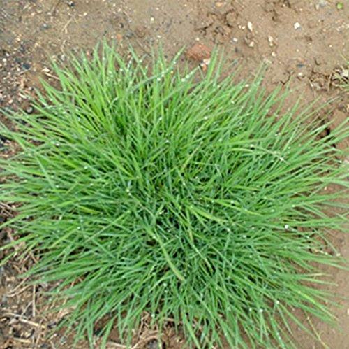 2000PC cour pente semences de gazon. semences agrostide. le taux de germination de 99%