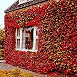 50pcs Rare red Boston Ivy Seeds Home Garden Outdoor Creeping Plants parthenociss