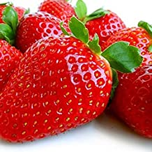 30 Albion Everbearing Strawberry Plants- Fruits Firm, Very Sweet, High Yields