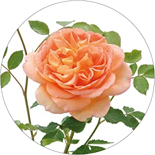 David Austin English Roses Lady of Shallot