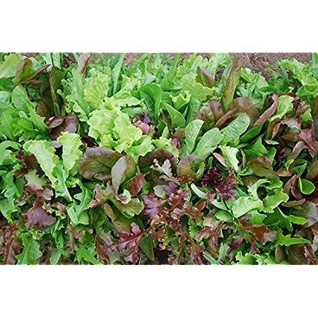 Batlle vegetable seeds 8g Lettuce Mesclum Home & Garden Garden ...
